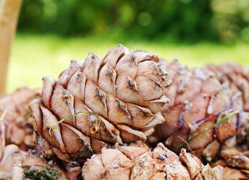 Cedar cones stock photos