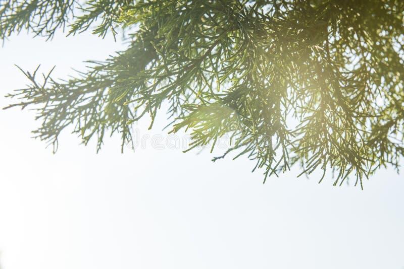 Cedar Cypress Leaf foto de archivo libre de regalías