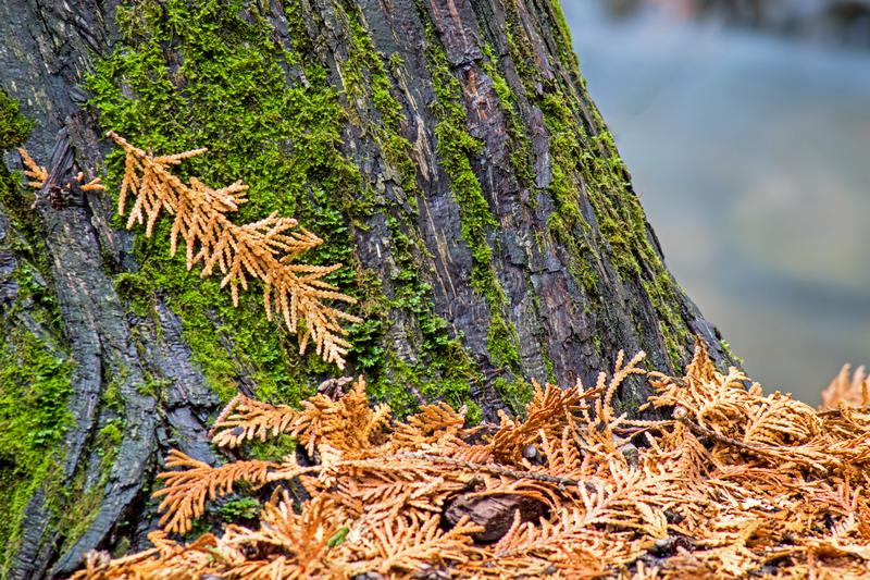Cedar Droppings Cling To The Tree Trunk. Cedar trees provide their own kind of fall foliage with their nearly orange tinted autumn droppings on the ground. The royalty free stock photos