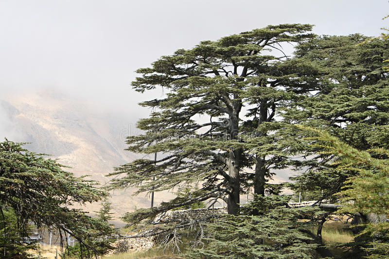 Cedar Forest of Lebanon. The cedar forest in Lebanon in the fog stock images