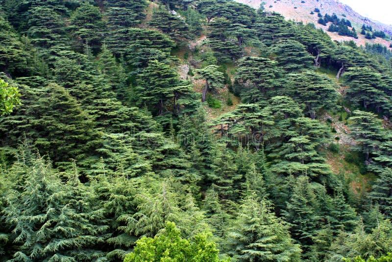 Cedar forest in Lebanon stock images