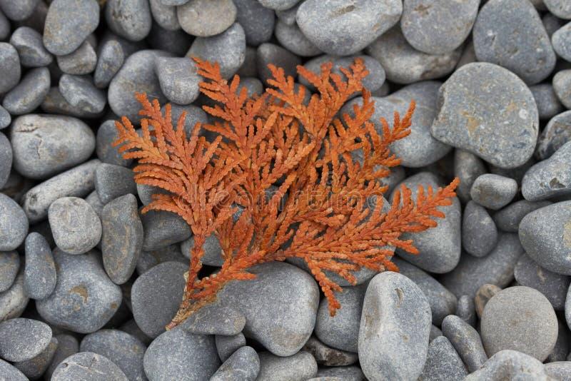 Cedar Frond Lying secado en una playa del guijarro fotografía de archivo libre de regalías