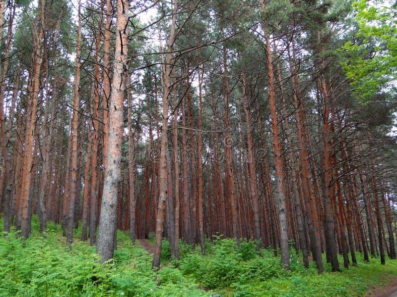 Cedar grove royalty free stock images