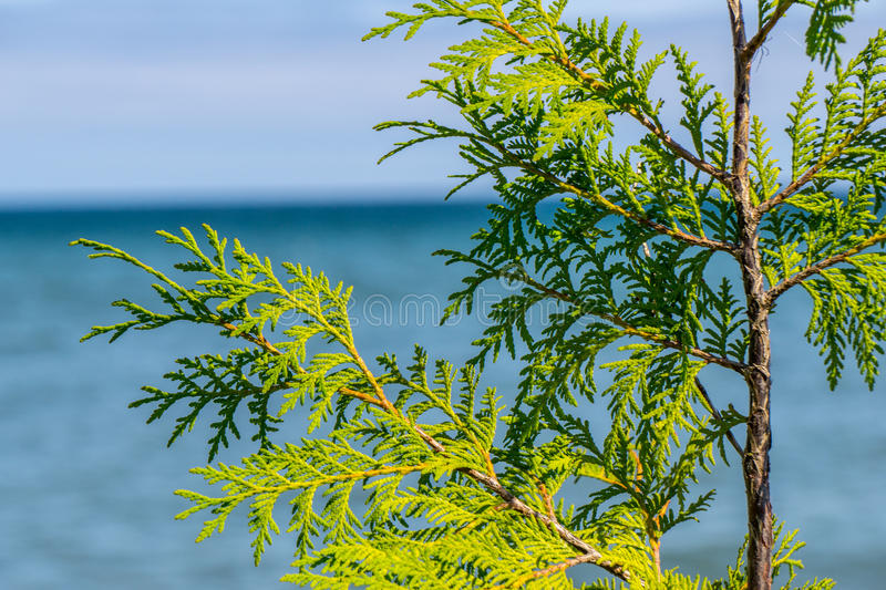 Cedar Leaves with Lake Michigan in Background. The sun shines on the beautiful green leaves of a cedar tree on the shore of Lake Michigan in Door County stock photo