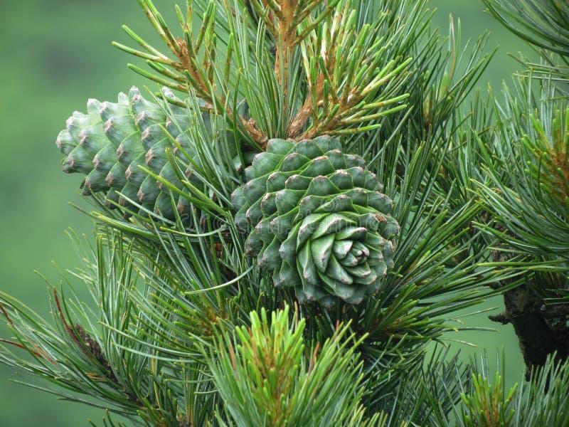 Cedar nut, pine cone green. Pine nut, pine lump, cedar wood. Cedar branch. Woodland cedarwood stock photography