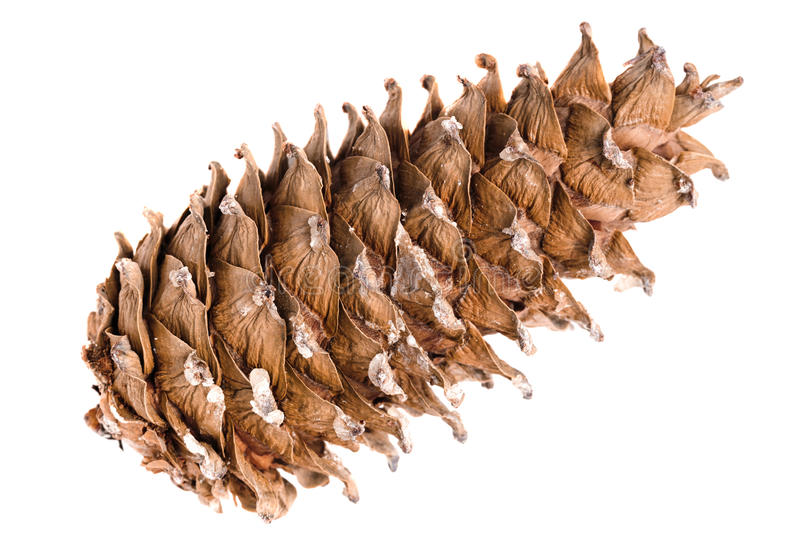 Cedar pine cone nut on a white background royalty free stock images