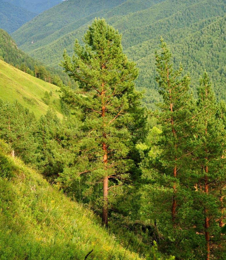Cedar pines, Siberia. Cedar pines on an abrupt hillside in Altai mountines stock photography