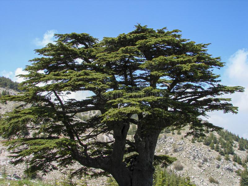 Cedar reserve in Lebanon during spring. This is a capture of a Cedar forest located in Lebanon, this picture was taken during spring 2009 and you can see the old royalty free stock images