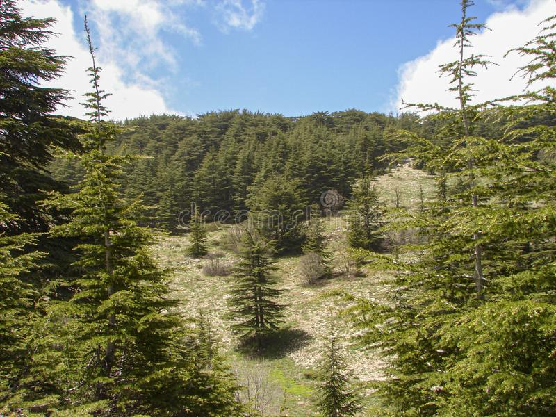Cedar reserve in Lebanon during spring. This is a capture of a Cedar forest located in Lebanon, this picture was taken during spring 2009 and you can see the old royalty free stock image