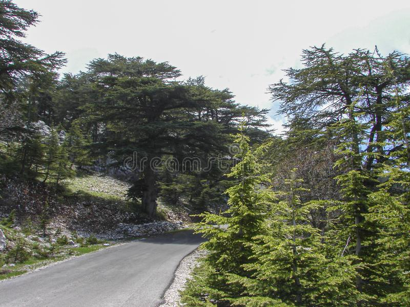 Cedar reserve in Lebanon during spring. This is a capture of a Cedar forest located in Lebanon, this picture was taken during spring 2009 and you can see the old stock image