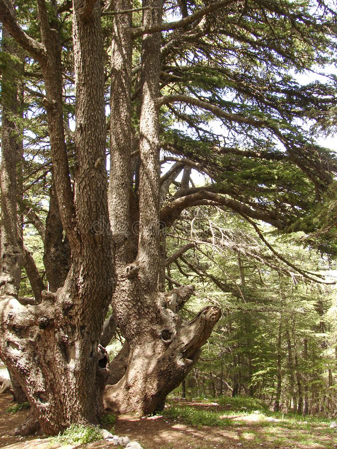Cedar reserve in Lebanon during spring. This is a capture of a Cedar forest located in Lebanon, this picture was taken during spring 2009 and you can see the old royalty free stock photos