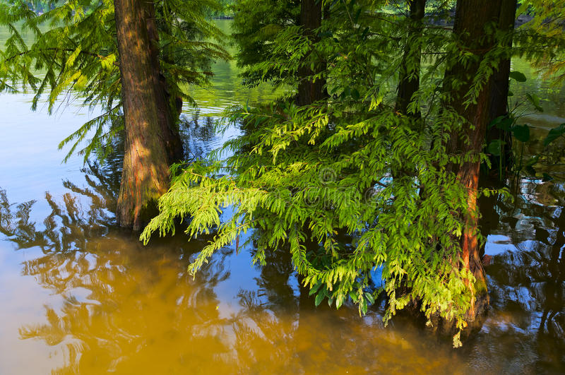Download Cedar in the  river stock photo. Image of yellow, trees - 21921480