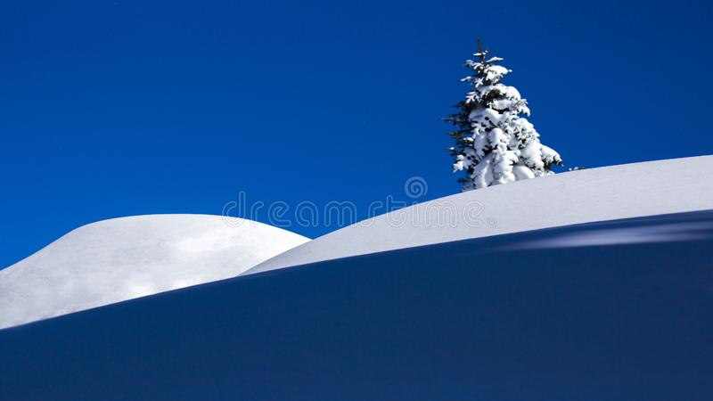 Cedar. The cedar, standing on the snow, it is not afraid of cold, not afraid of snow stock photo