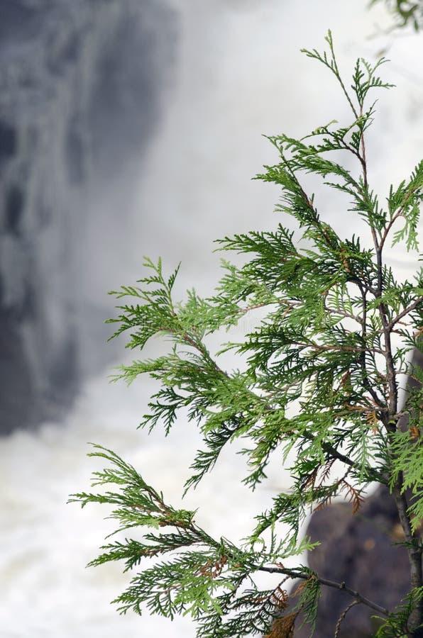 Cedar Tree stock fotografie