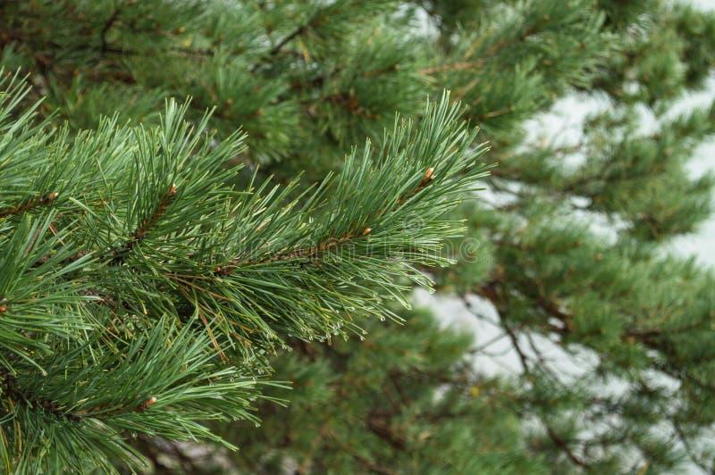 Cedar Tree immagini stock