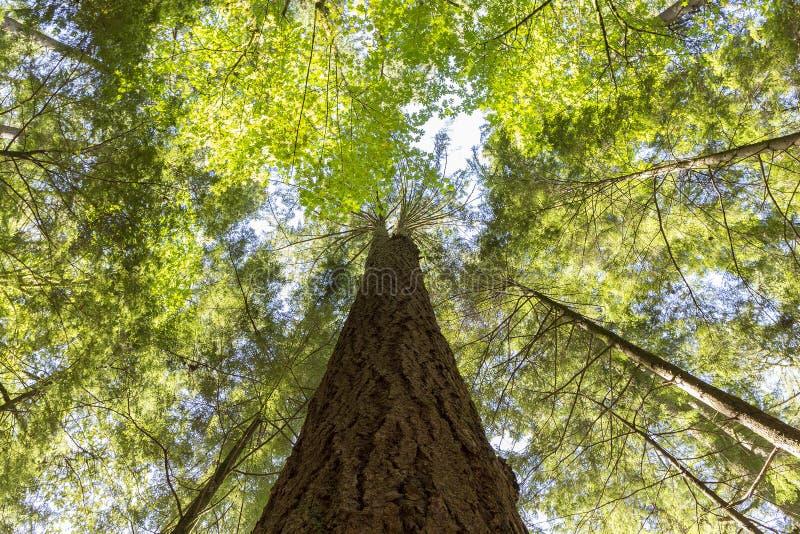 Cedar Tree stock foto's