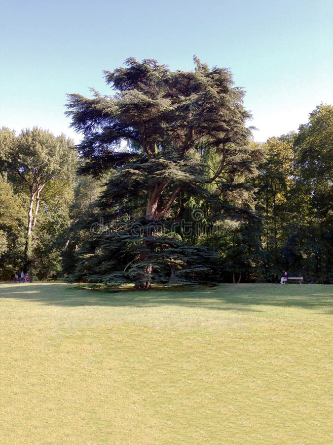 Cedar Tree royalty-vrije stock foto's