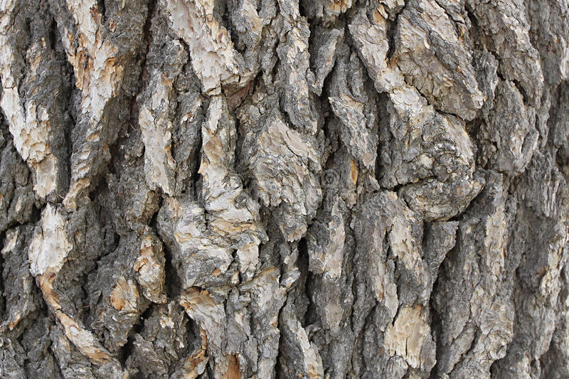 Cedar Tree Bark Background photo libre de droits