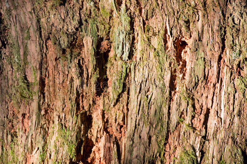 Cedar Tree Bark and Moss royalty free stock images