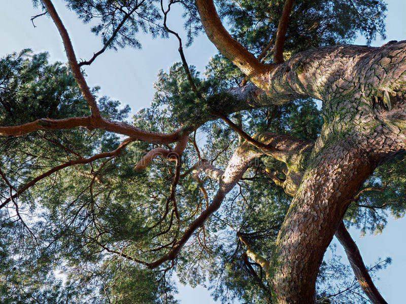 Cedar Tree Bathed in Zonneschijn stock foto's