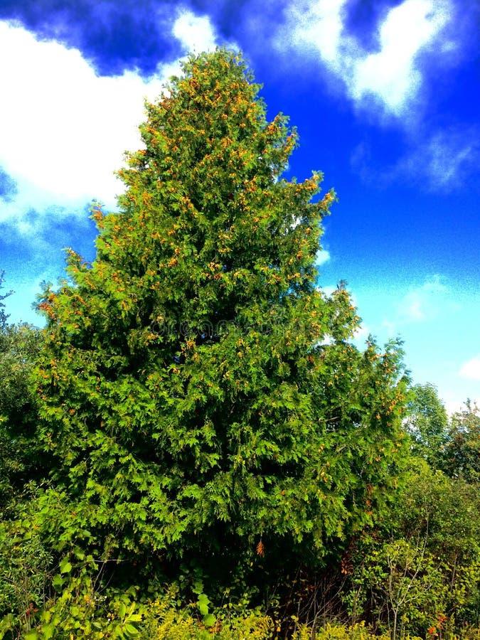 A Cedar Tree stock photos