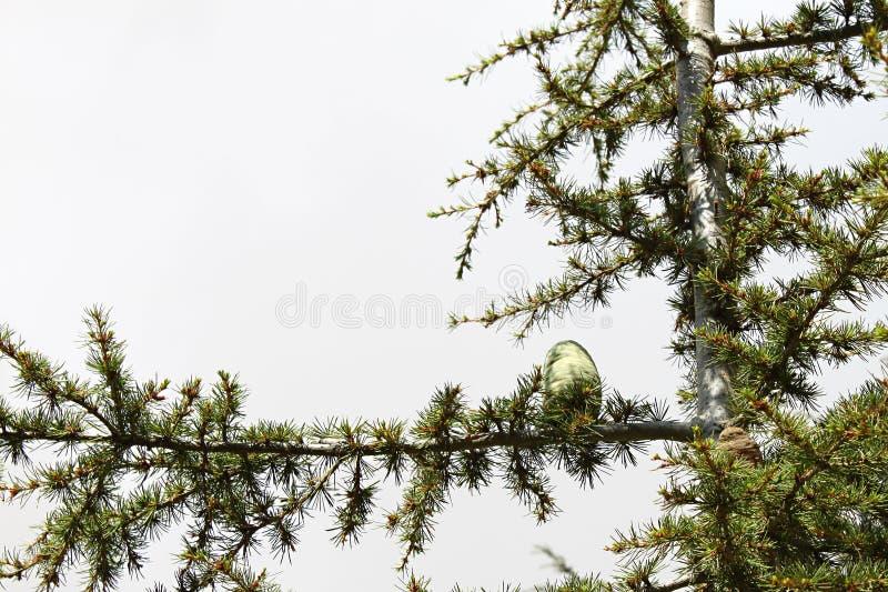 Cedar Tree Cone lizenzfreie stockbilder