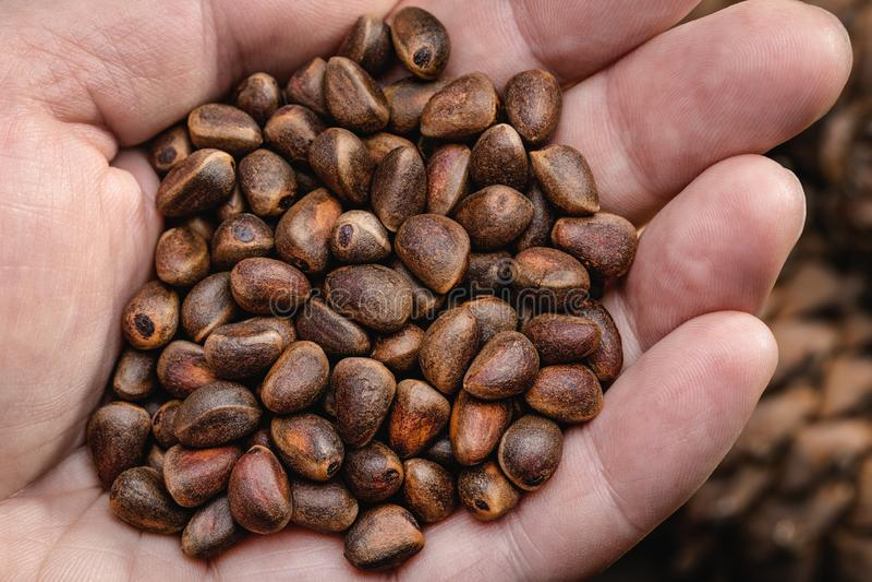 Cedar tree cones and seeds. royalty free stock photos