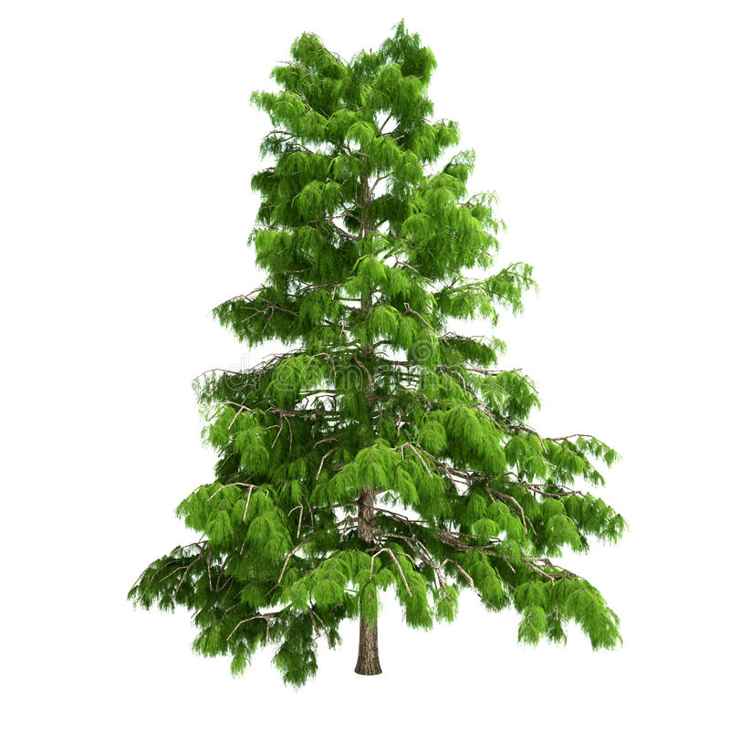 Cedar tree isolated stock illustration image of natural