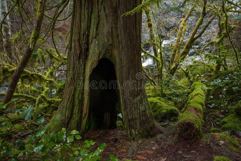 Cedar Tree Trunk mit erfundenem Hobbit-Loch-Eintritt im Regenwald stockfotos