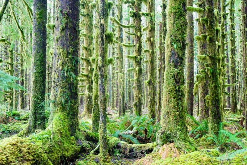 Cedar Trees Deep Forest Green Moss Covered Growth Hoh Rainforest fotografia stock libera da diritti