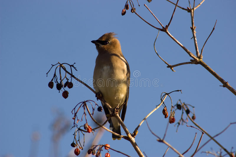 Cedar Waxing royalty free stock photography