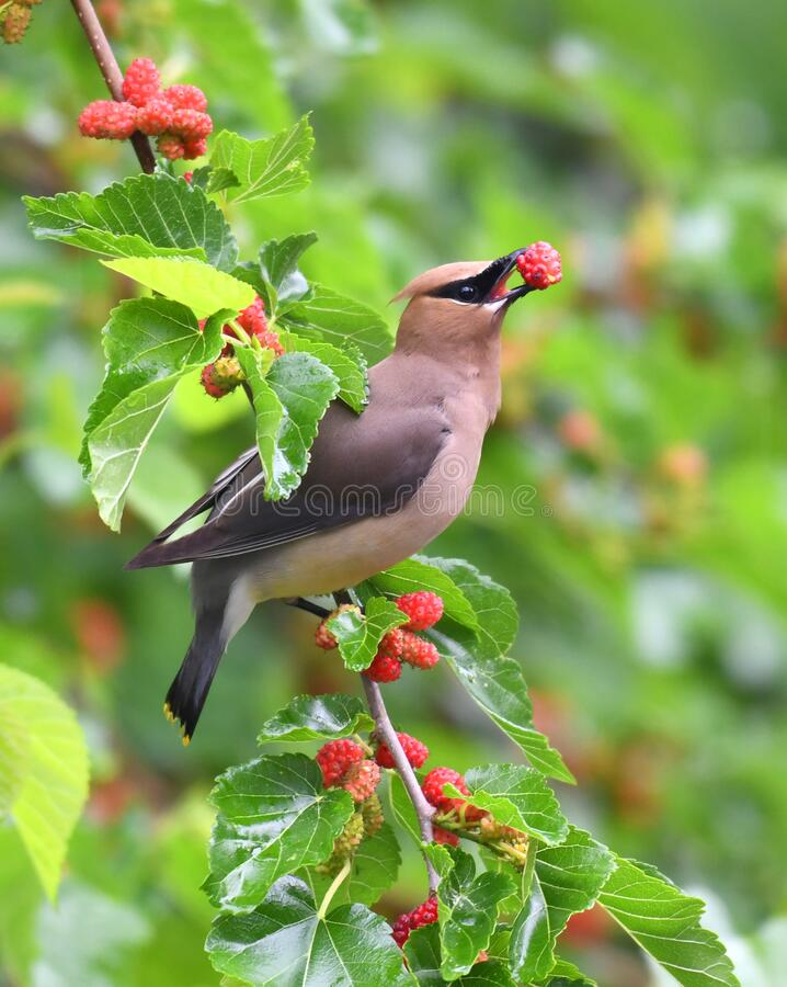 Free Cedar Waxing Bird Eating Mulberry Fruit On The Tree Stock Images - 187470564