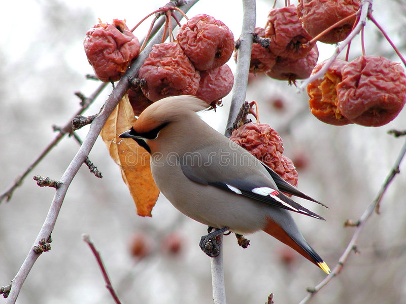 Download Cedar Waxwing 2 stock image. Image of feather, flock, feeding - 83753