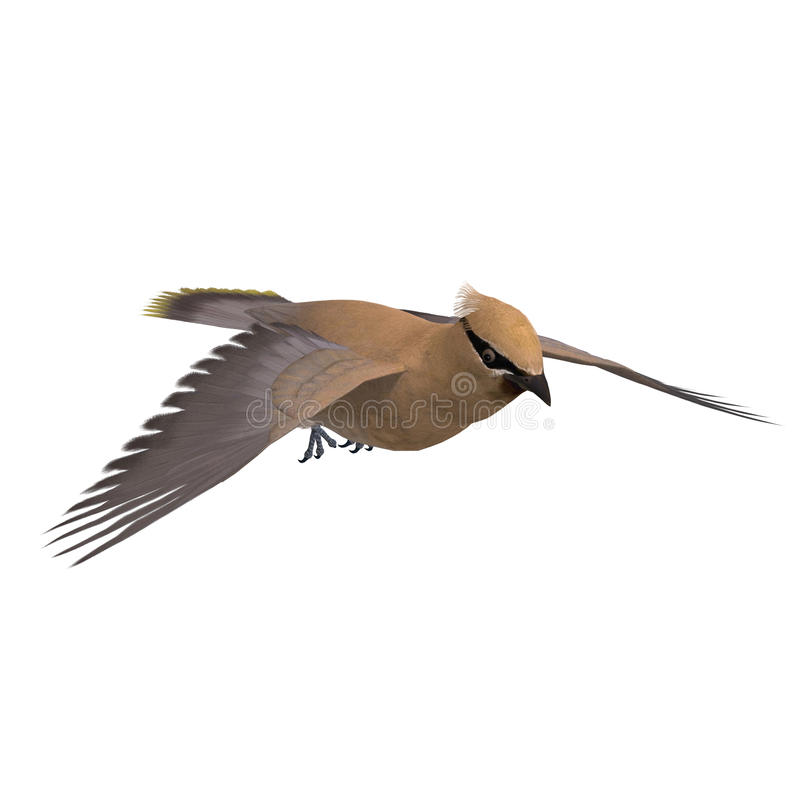Download Cedar Waxwing. 3D Rendering With Clipping Path Royalty Free Stock Photo - Image: 14407495