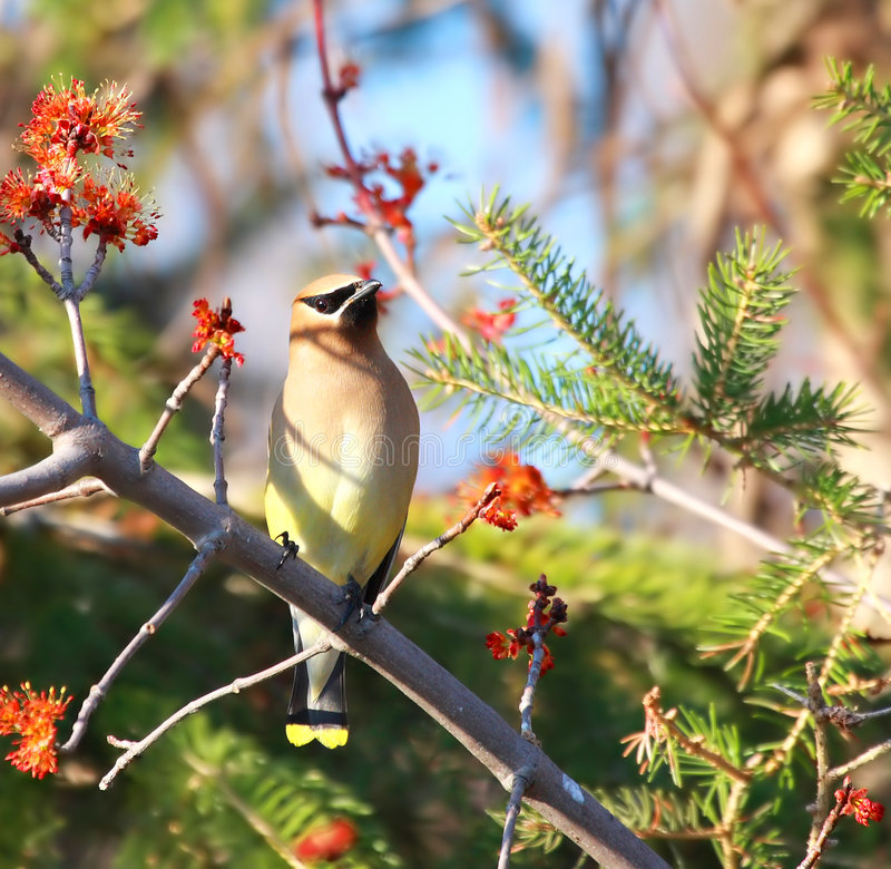 Cedar Waxwing bird royalty free stock photo