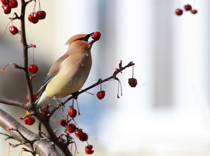 Cedar waxwing bird royalty free stock image