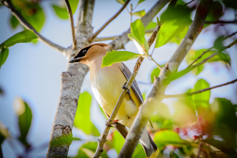 Cedar Waxwing Bird Perched in Holly Tree royalty-vrije stock foto's