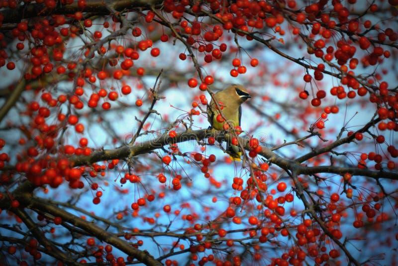 Cedar Waxwing Bird Surrounded durch Beeren lizenzfreies stockfoto