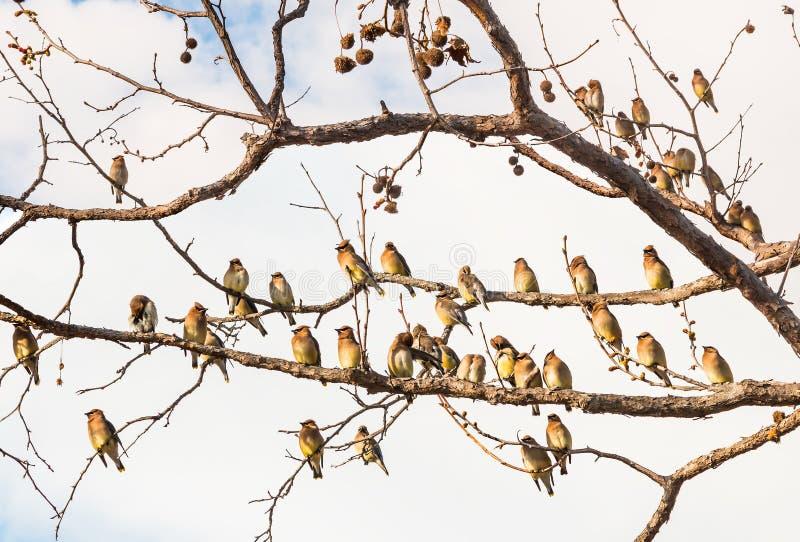 Cedar Waxwing Birds Resting immagini stock libere da diritti