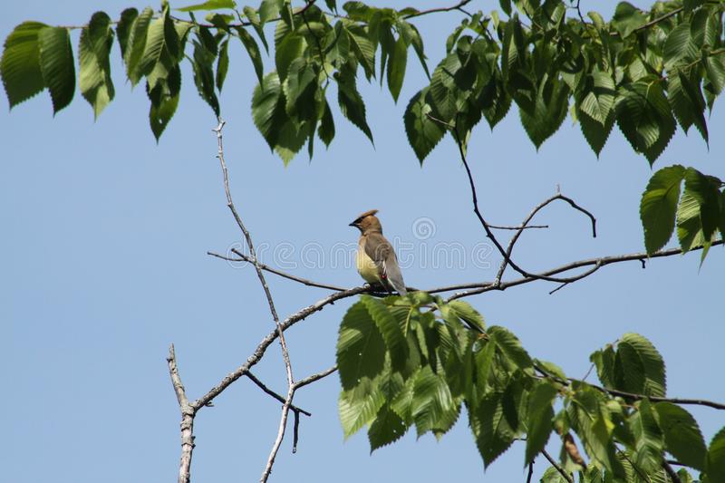 Cedar Waxwing -Bombycilla cedrorum- royalty free stock images