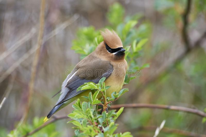 Cedar Waxwing Bombycilla cedrorum perched in a bush stock photos