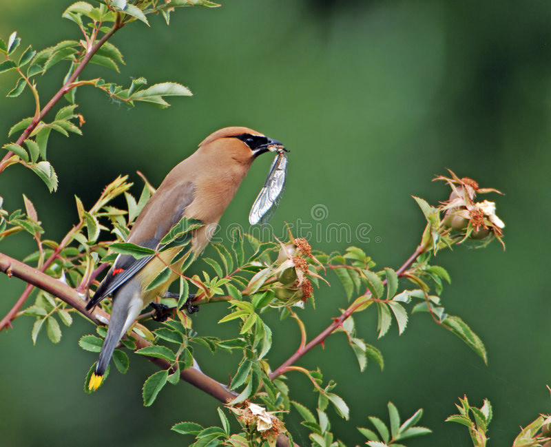 Cedar Waxwing eating bug 2 royalty free stock images