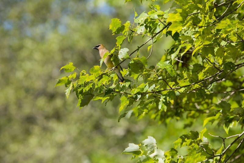 Cedar Waxwing em Sunny Day Amongst Leaves imagens de stock royalty free