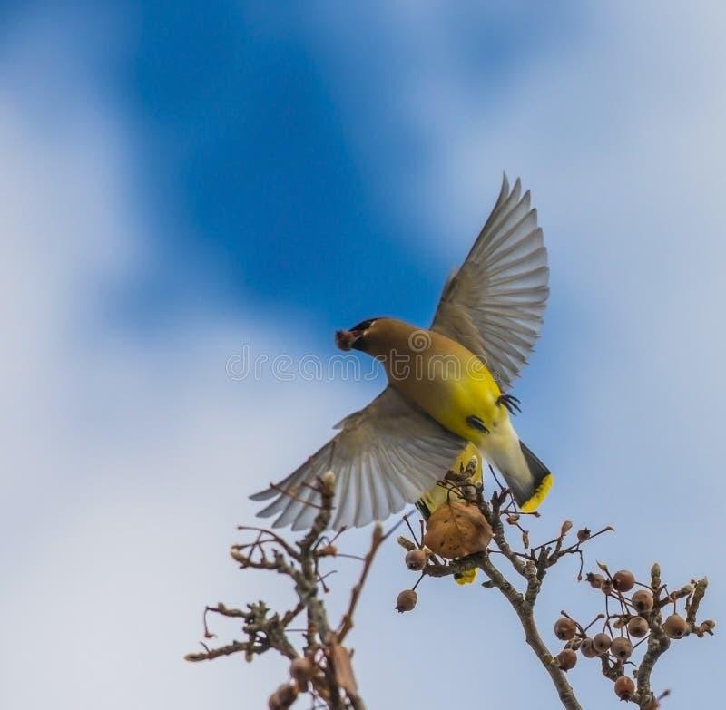 Cedar Waxwing-Fliegen stockbilder