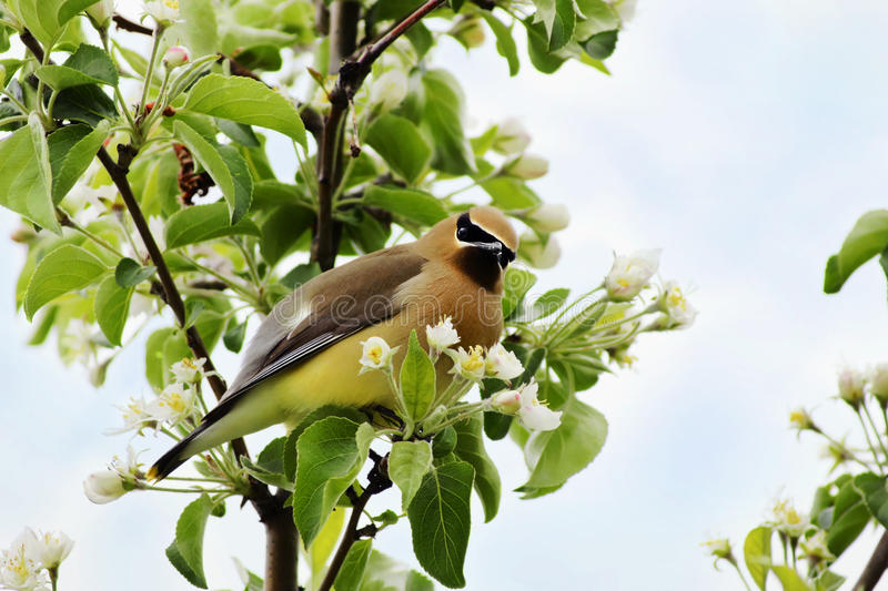 Cedar Waxwing Looking Guilty Royalty Free Stock Photography