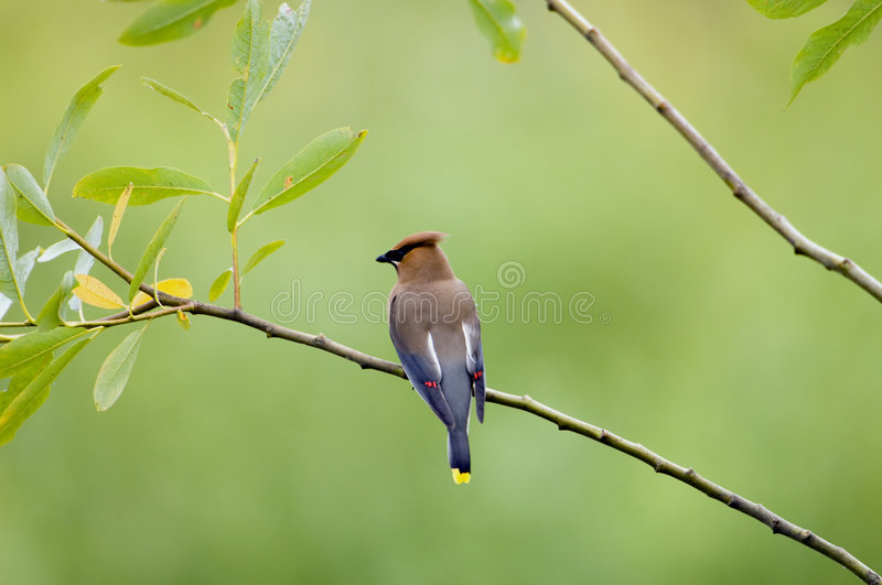 Cedar Waxwing perched royalty free stock photography
