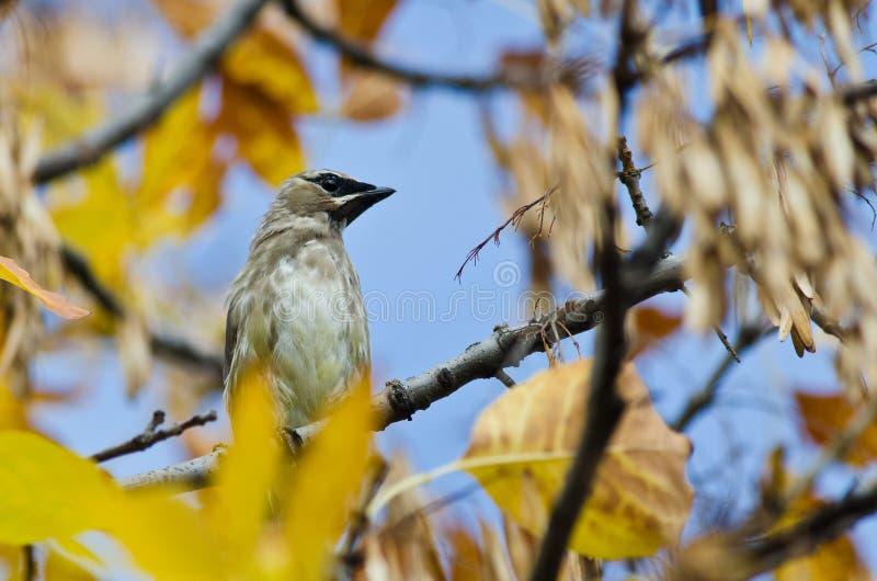 Cedar Waxwing Perched in Autumn Tree royalty-vrije stock fotografie