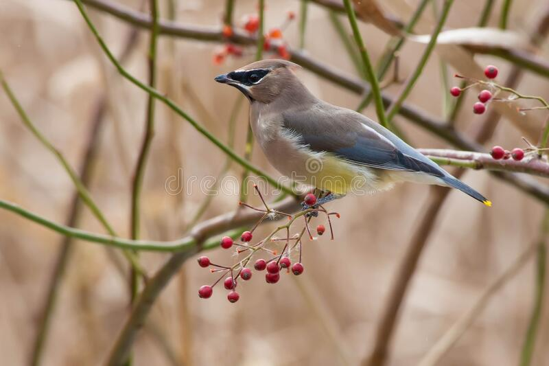 Cedar Waxwing - Bombycilla cedrorum. A Cedar Waxwing is perched on a branch with red berries. Taylor Creek Park, Toronto, Ontario, Canada royalty free stock images