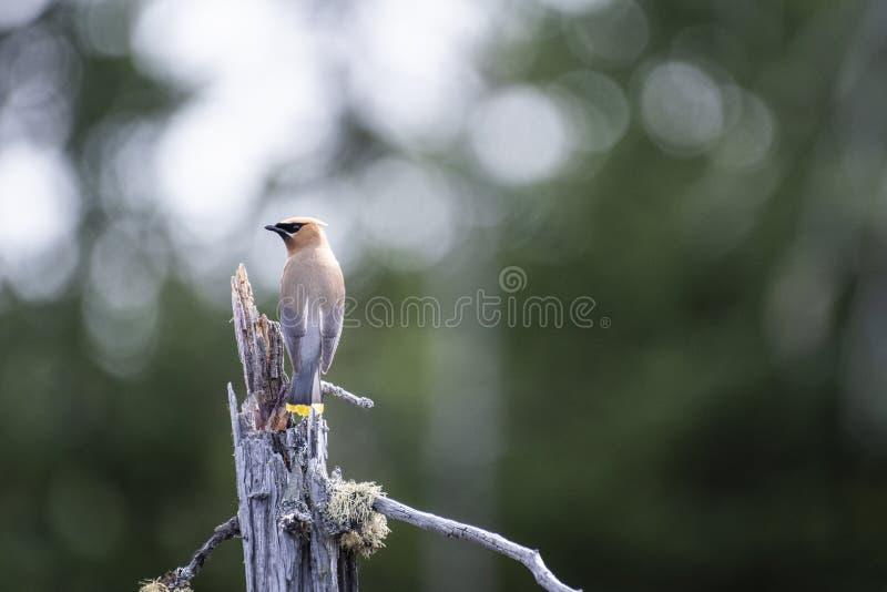 Cedar Waxwing si è appollaiato su un albero morto sopra una palude fotografia stock
