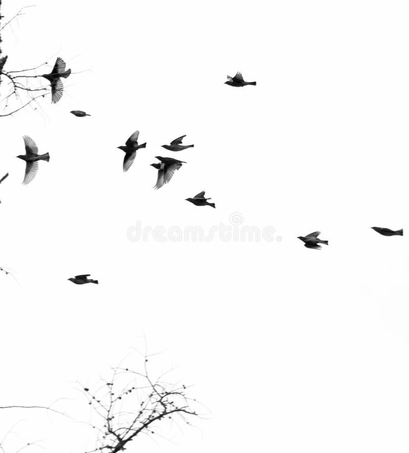 Cedar Waxwing Silhoutted contre les branches d'arbre blanches de ciel en bas photographie stock